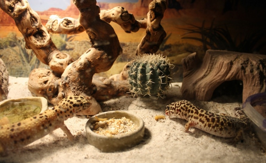 Leopard-Gecko-Care
